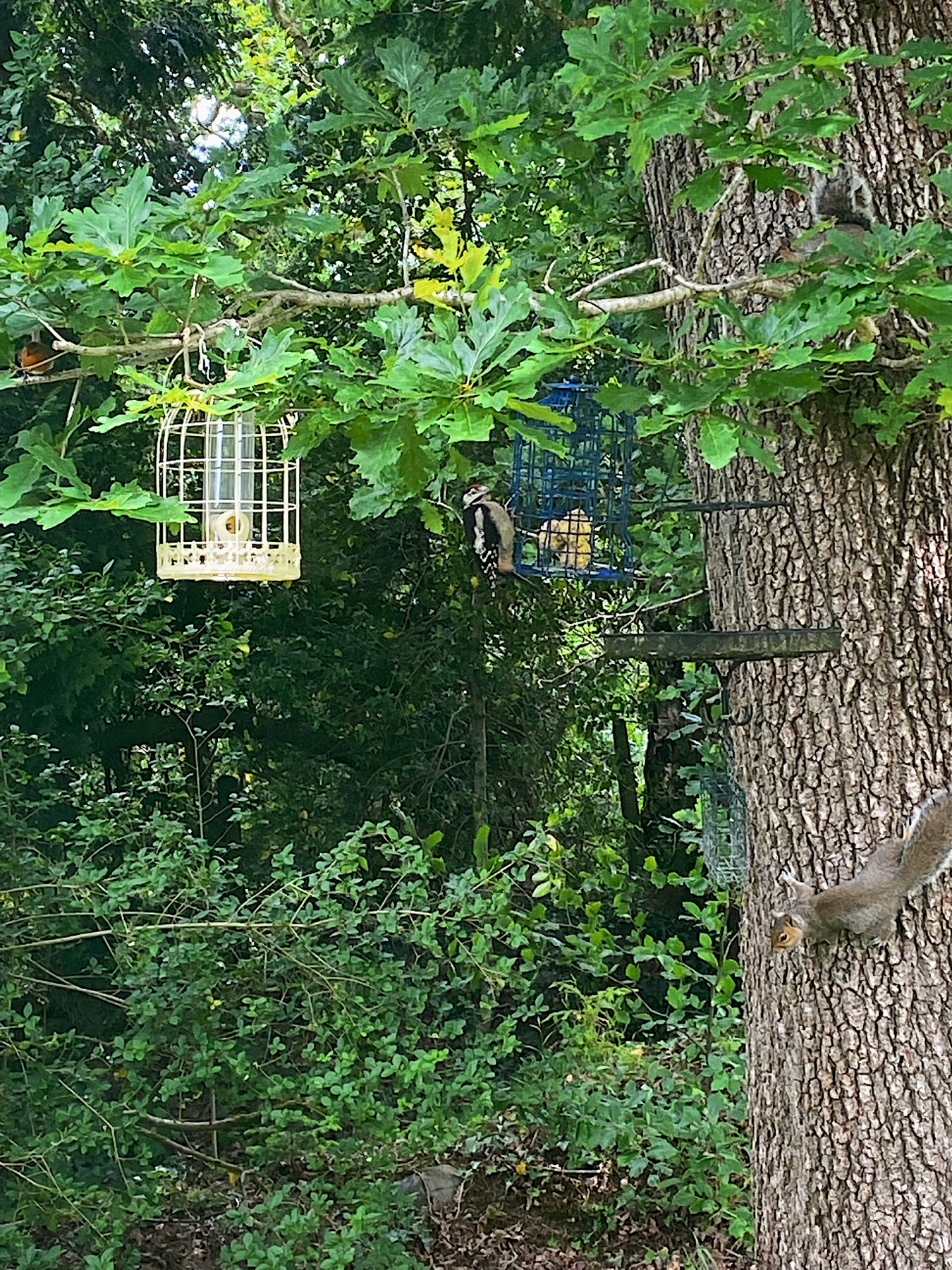 Great Spotted Woodpecker at a bird feeder